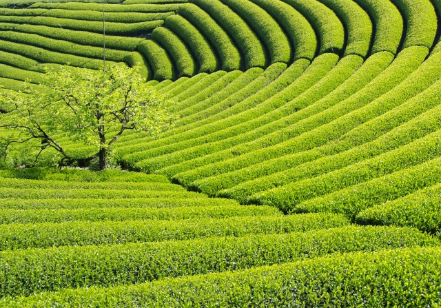 鹿児島中央製茶 イメージ画像02